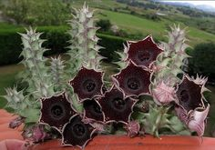 Amazing succulents on this page, worth a look.