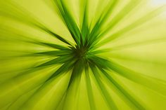 Cyperus alternifolius by EDEMIN RAMIREZ viewfinder image production on 500px