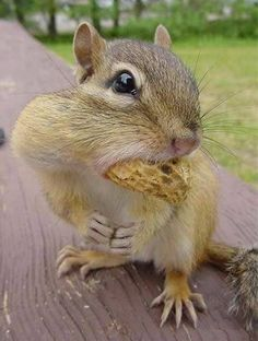 squirrel with peanut