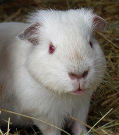Lippy cochon d'inde mâle shelty himalayen