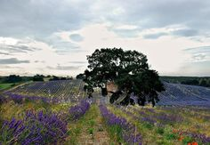 This treehouse lies in the rolling hills of Lazio Italy surrounded as you can see by fields of lavender