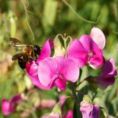 Pink Sweet Pea Seeds  Naturally Grown Wild Flower Seeds by cubits.