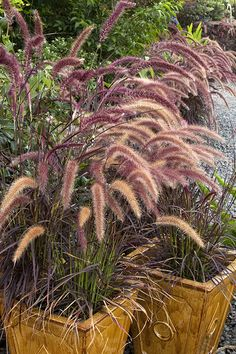 Purple Fountain Grass is a popular, drought tolerant grass that forms tidy clumps of purplish maroon blades topped with rose-red flower spikes. Beautiful as landscape specimen or planted in groups. Unlike the species, this cultivar does not reseed. An herbaceous perennial grass in mild winter regions; provides quick annual color in any climate. Zones 8-11 Fountain Grass, Plant Catalogs, Pennisetum Setaceum