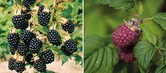 Growing Gardens, Blackberry, Gardening Tips, Outdoor Gardens, Fruit, Flowers, Plants, Blackberries, Gardens