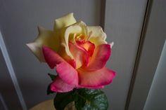 Unusual rose grown in my garden last year.  Just gorgeous!