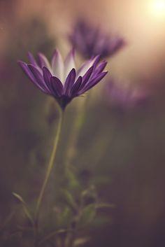 ~~Star | purple daisy bokeh | by Dina Telhami~~