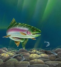 I think the rainbow trout paintings are some of my absolute favorites! The rainbow look to them is simply beautiful! We have a little bit . Trout Fishing Tips, Pike Fishing, Sea Fishing, Saltwater Fishing, Bass Fishing, Fishing Poles, Fishing Vest, Salmon Fishing, Fishing Ontario