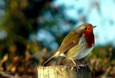 robin on the garden post. Love the saturated colours here