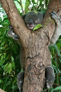 Koala, Townsville, Queensland, Australia.  they spend all day eating and s;eeping.  they move so slowly that the park ranger can tell you yesterday there was one on such and such tree and you find it still there.