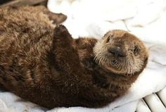 Baby Sea Otters | Attendance zooms at Pittsburgh Zoo - Pittsburgh Business Times
