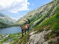 Istagram @gabrieleforti2000 Ibex,steinbock,Rock goat,lake,Mountain