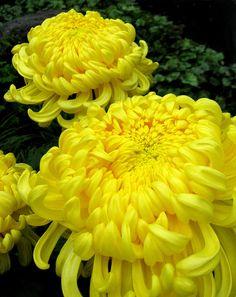 Brilliant Yellow Dahlias