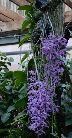 The Orchid Column: April flowering orchids Dendrobium Anosmum