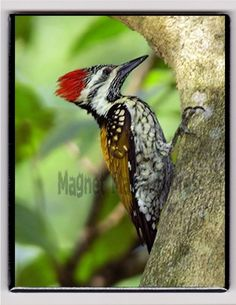 Metal Magnet Black Rumped Flameback Woodpecker On Tree Bird Birds Magnet X