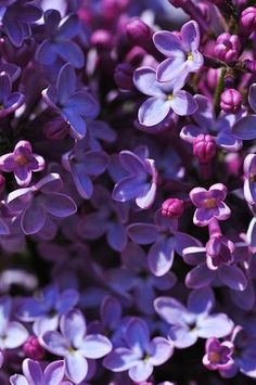 Lilacs, my favorite flower. I love everything about them, the fragrance, color, daintiness!