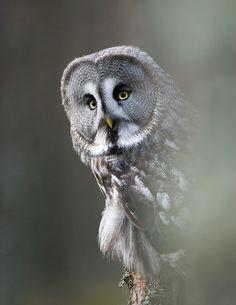 Great gray owl (Strix nebulosa) by Stefan Cook, via Flickr