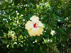 Hibiscus flower....