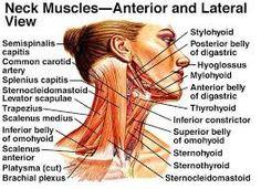 Bildergebnis für omohyoid muscle