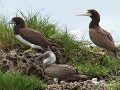 Brown Booby | Bird Watching Panama | Tranquilo Bay Eco Adventure Lodge | Birds