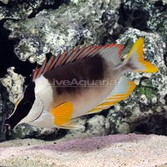 46 Best Saltwater Tank Potential Combination Images On Pinterest