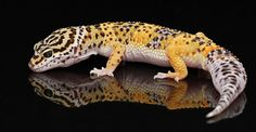 Another Leopard Gecko. Because you just can't have too many leopards Taken at Planet Reptile photo day.