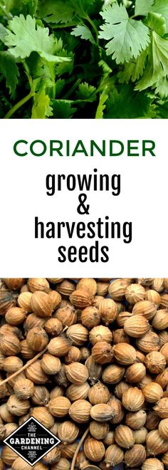 Herbs Gardening Learn how to grow cilantro to harvest coriander seeds in your home herb garden. Corriander Plant, Growing Coriander, How To Grow Coriander, Organic Gardening, Gardening Tips, Indoor Gardening, Types Of Herbs, Home Vegetable Garden, Gardens