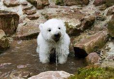 Fact: polar bears are my favorite bears. Baby polar bears beat grown polar bears any day of the week. Zoo Animals, Cute Baby Animals, Funny Animals, Wild Animals, Animal Memes, Animal Pictures, Cute Pictures, Bear Pictures, Baby Polar Bears