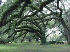 Live Oaks in New Orleans City Park