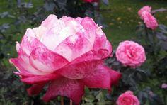 Rose after rain. Photographer E. Kovalyova