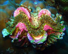 Encrusted Clam of Sulawesi