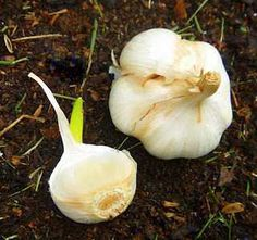Homestead Survival: Grow your own Garlic (it's easy!)