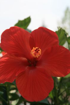 Flor de Cayena, Dominican Republic Haiti And Dominican Republic, Parks, Beautiful Places In The World, Hibiscus, Palm Trees, Puerto Rico, The Good Place, Caribbean, Tropical
