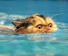 this poor cat is swimming for his life