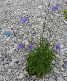 Zu Gast im Hortus Campanularum, dem Garten der Glockenblumen – Hortus Girasole Plants, Bumble Bees, Insect Hotel, Planting, Plant, Planets