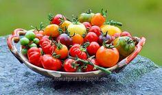 Tomat Prat: Hva er HEIRLOOM tomater?