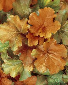 "Heuchera 'Creme Brulee' - Coral Bells - Sun to Shade, H8-16"", W16-24"", Flowers pink, early to late spring"