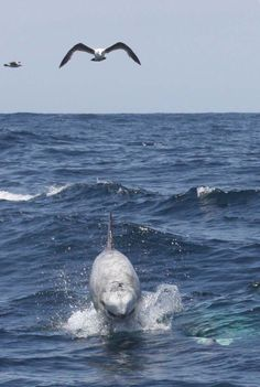 Risso's dolphins are extremely rare, and relatively little is known about them.