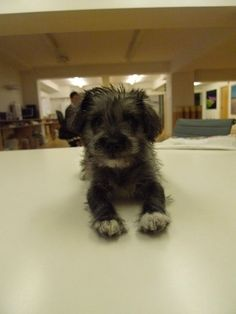 Jack Russell Terrier/Poodle mix