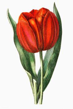 The Botanical Register // Illustration // Art // Botany // Plant // Flora // Flower Botanical Decor, Botanical Flowers, Botanical Prints, Vintage Flower Prints, Vintage Flowers, Vintage Floral, Flowers Illustration, Illustration Art, Red Tulips
