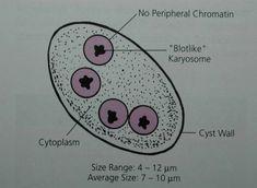 Endolimax Nana cyst characteristics