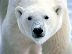 Polar Bear via gwinnett.k12.ga.us
