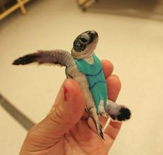Sea turtles don swimsuits for science - http://scienceblog.com/80463/sea-turtles-don-swimsuits-for-science/
