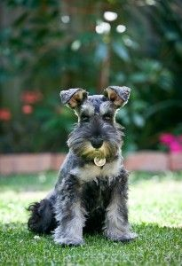 Lewis wants a mini schnauzer like Delilah. I think this is the cutest coloring for one!