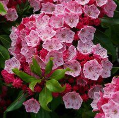 "Kalmia latifolia ""Olympic Fire"" Kalmia Latifolia, Flowering Shrubs, Garden Landscaping, Beautiful Flowers, Mountain, Gardening, Landscape, Spring, Nature"