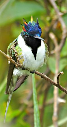 The Horned Sungem (Heliactin bilophus) is a South American hummingbird, the only species, (monotypic), of the genus Heliactin.  Bolivia  Brazil  Suriname