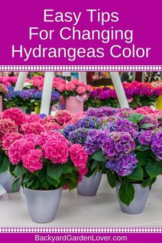 Did you know you can change the color of hydrangeas? Just follow these simple steps and enjoy hydrangea flowers in beautiful shades of pink, blue, purple and combinations of all. Video will show you how it's done if you prefer visual gardening tips. #flowergarden #gardeningforbeginners #gardeninghacks  #hydrangea