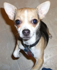 """Cassiopeia -the """"yes mommy"""" face Heart Melting, Chihuahua, Boston Terrier, French Bulldog, Babies, Face, Dogs, Animaux, Babys"""