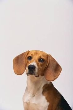 Photographic Print: Beagle by DLILLC : 24x16in