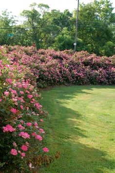 knock out roses grown as a hedge