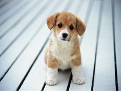 Corgi puppy!!